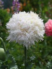 """50 Semi di PAPAVERO PEONIA BIANCO * Poppy papaver somniferum """"Swansdown"""" seeds"""