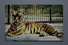 R&L Postcard: GD&D, Tiger at London Zoo Zoological Gardens