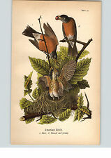 1890 Bird Colored Lithograph Litho Plate  American Robin Male Female & Young