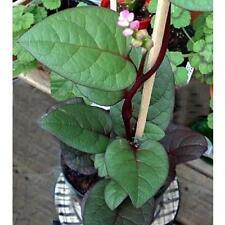 110 Organic Malabar Red and Green Stem Spinach (Mong toi do va xanh) seeds.
