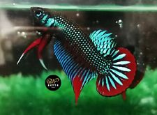LIVE BETTA FISH BREEDING PAIR GREEN RED CRESCENT WILD IMBELLIS (WT75)
