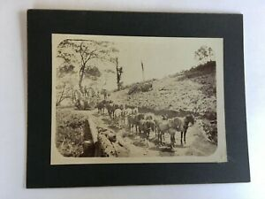 Antique Photo, 19th Century, Early California Logging, Team of 12 Horses