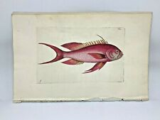 Red Anthias Fish - 1783 RARE SHAW & NODDER Hand Colored Copper Engraving