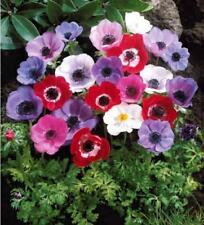 5 Anemone De Caen Mix Color Flower Bulb Perennial Spring Summer Blooming