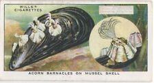Acorn Barnacles On Mussel Shells Marine Ocean c80 Y/O Ad Trade Card
