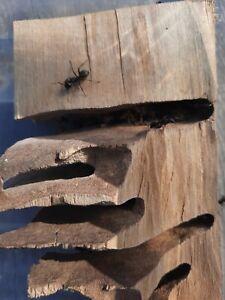 Queen Ant Jet Black Carpenter Camponotus pennsylvanicus Ant Colony 6 Workers
