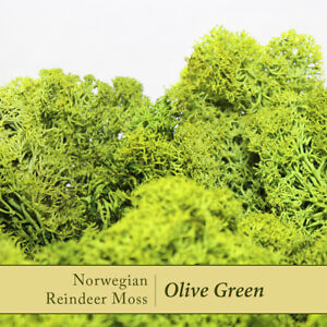 Dried Reindeer Moss   Olive Green - Perfect for air plants, terrariums & Crafts