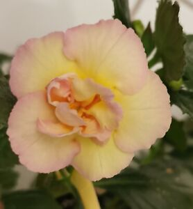 1 x Rhizom ,Achimenes, Schiefteller   Yellow English Rose (S.Saliba)