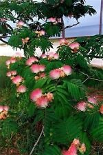25 MIMOSA / PERSIAN SILK TREE Albizia Julibrissin Flower Seeds *Combined Shippng