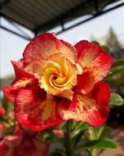 2 Rare Orange Red Desert Rose Seeds  Adenium Obesum Flower Perennial Garden