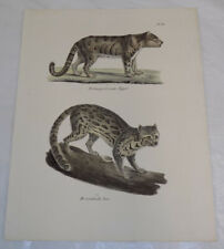 1845 Antique Print/ Tiger, and Cat (Not Domestic)