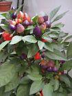 vegetable ornamental seed Variety sweet hot pod pepper capsicum green red purple