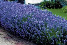 LAVENDER HIDCOTE 6 PLUG PLANTS