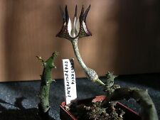 ceropegia stapeliiformis 5 rare succulent seeds! huernia stapelia