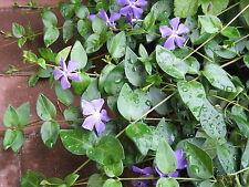 15 Ableger großblättriges Immergrün winterhart Bodendecker lila blau