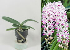 """POTTED RHYNCHOSTYLIS GIGANTEA ' SPECKLE ', """"SPOTTED"""", ORCHID PLANT, RARE, GARDEN"""