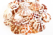 "100 Small Pectin Tranquebaricus Shells Seashells (3/4-1"") Arts & Crafts.Decor"