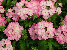 Verbena Tuscany Pink Picotee Seed Low Growing Annual Soft Pink Flower 'n Picotee