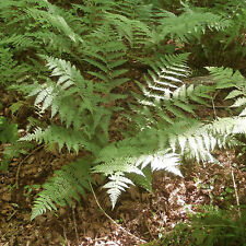 Intermediate Wood Fern . 200 Spores