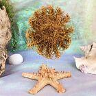 W93e Taxidermy Specimen CROWN of THORNS STARFISH on Starfish curiosities oddity