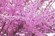 25+ FRESH Cercis Siliquastrum / Judas Tree  / European Redbud Tree Seeds