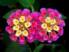 105 Graines Lantana camara – Spanish flag seeds