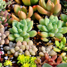 Lots 100 Seeds Mixed Succulents Seeds Rare Succulent Potted Plant Home Decor New