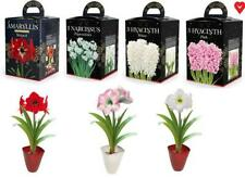 Grow Your Own Flowers Gift Boxed Amaryllis Hyacinth Narcissi Stocking Filler