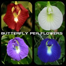 Butterfly Pea CLITORIA Ternatea Garden Flower Blue-Red-White & Purple-20 seeds