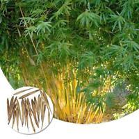 50 stücke Pfeil Bambus Samen Blumensamen Zier Samen Pflanzen Hausgarten Dec G7C3