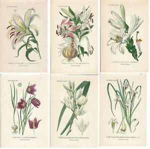 Stampe antiche SERIE 6 FIORI LILIACEE LILIUM botanica Bois 1896 Antique prints