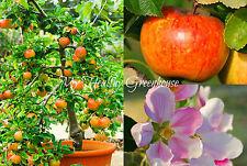 """SEEDS - Self-fertile Compact Dwarf Fiesta Apple Tree """"Malus domestica"""" Hardy!"""