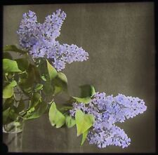 Glass Magic Lantern Slide LILAC BLOOMS C1920 PHOTO NATURE STUDY FLOWERS