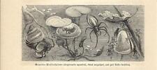 Stampa antica INSETTI RAGNO PALOMBARO Argyroneta INSECTA 1891 Old antique print
