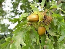 10 EUROPEAN TURKEY OAK ACORNS -  Quercus cerris
