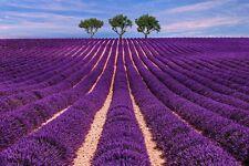 Sehr duftintensiv durch sein vieles ätherische Öl ist der lila Duftlavendel !