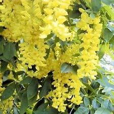 GOLDEN RAIN TREE SEEDS FLOWERING TREE KOELREUTERIA PANICULATA SEED 10 SEED PACK