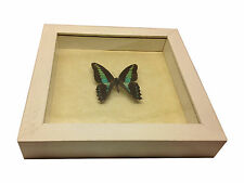 Graphium sarpedon Real Butterfly in wood Shadowbox Mount- white