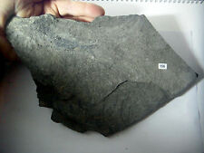 OSTEOLEPIS RARE TWO FOSSIL FISH DEVONIAN BLACK SANDSTONE ACNANARRAS UK st156