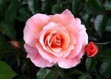 'Fragrant Delight' Very Fragrant Floribunda Rose, Excellent Flowers