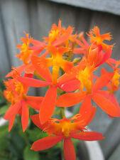Orange Crucifix/Epidendrum Orchid