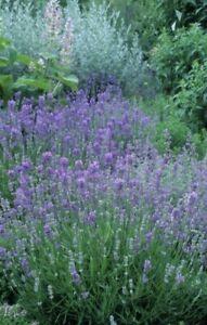 600+English Lavender-Lavandula angustifolia-Non GMO-Open Pollinated.