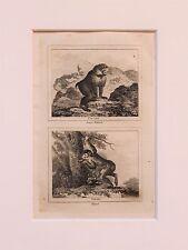 Buffon Antiguo montado impresión c.1800 - grabado-Primate, Mono, Macaco