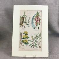 1858 Antico Botanico Stampa Aloe Piante Rabarbaro Frutta Originale Mano Colorato