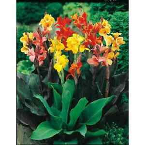 7 Mixed Lot Canna Lily Plants/Bulbs Red, Orange, Yellow and More..ready to bloom
