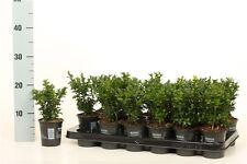 Buchsbaum versch. Größen 12-50cm Buxus sempervirens Hecke Heckenpflanze