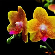 Hot Rare Seeds Orchid Golden Phalaenopsis Plants Home Gardening Planting Potted