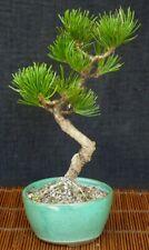 Bonsai - Pinus parviflora - SHOHIN aus Japan - japanische Mädchenkiefer