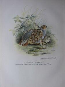 BEAUTIFUL BIRD PRINT ~ PARTRIDGE & CHICKS ~ EDWARD NEALE