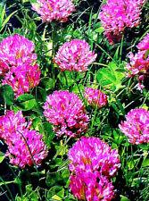 Rotklee, Wiesenblume, Wildblume auch in Topf, Balkon, Ampel, rote große Blüten